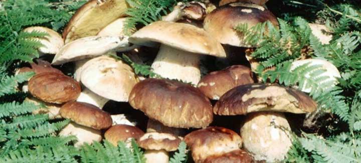 Sagra del Fungo di Mammola